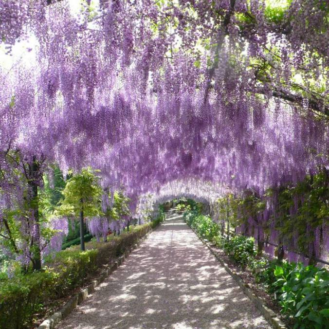 Wisteria in bloom, Bardini Garden |  get back, lauretta!