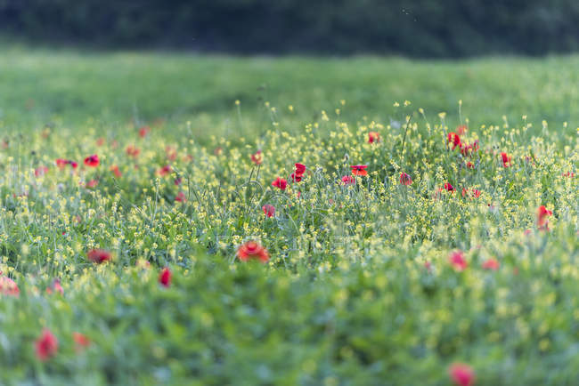 focused_165569702-Poppies-blooming-in-the-fields